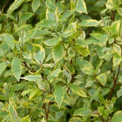 Gelbbunter Hartriegel 'Spaethii' 60-80cm, Hartriegel