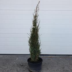 Säulen-Wacholder 'Arnold' 70-80cm, schmale Pflanzen kaufen