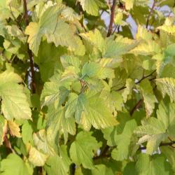 Gelber Blasenstrauch 'Dart's Gold' C3, Physocarpus opulifolius