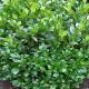 Niedriger Kirschlorbeer 'Mano' 30-40cm im 3l Topf, Prunus