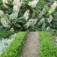 Zwergkirschlorbeer 'Gajo' 30-40cm im 5l Topf, Kirschlorbeer