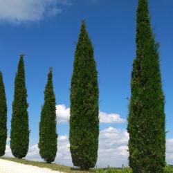 Echte Säulenzypresse 175-200cm C20, Echte Säulenzypresse