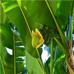 Banane - winterhärteste Sorte C18