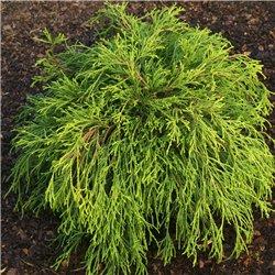 Gelbe Fadenzypresse 'Filifera Sungold' 25-30cm