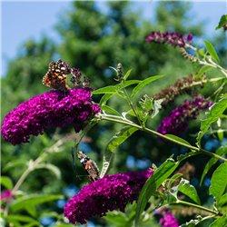 Schmetterlingsstrauch, Sommerflieder 'Fascination' 60-70cm