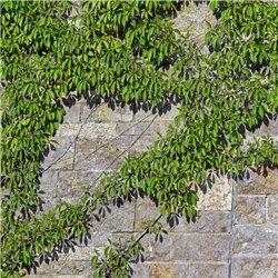 Jungfernrebe, Wilder Wein - Parthenocissus quinquefolia 2L