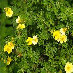 Fingerstrauch - Potentilla fruticosa 'Sommerflor' Tb9