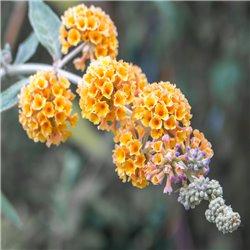Schmetterlingsstrauch 'Sungold' C3