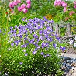 Karpaten-Glockenblume 'Blaue Clips' P 0,5