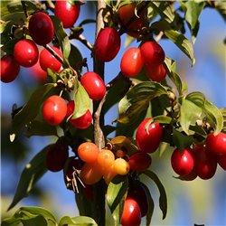 Dirndlstrauch 100-125cm C15, Vitamin C reiche Früchte, gesunde