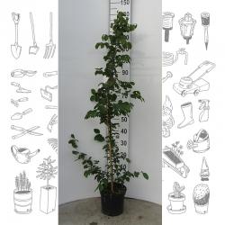 Hainbuche 125-150cm gestäbt und topfgewachsen, Pflanzen