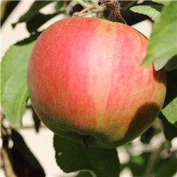 Apfel 'Elstar' Halbstamm C10
