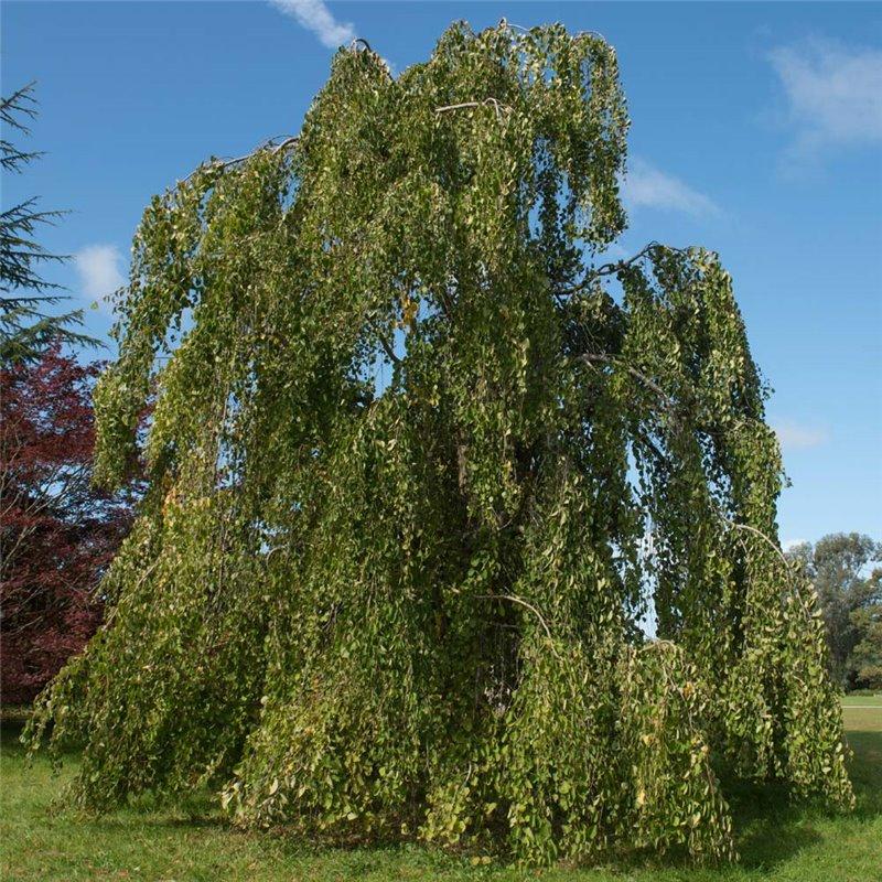Lebkuchenbaum Katsurabaum Cercidiphyllum japonicum 70-80cm