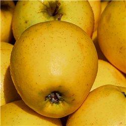 Apfel 'Golden Delicious' Halbstamm C10
