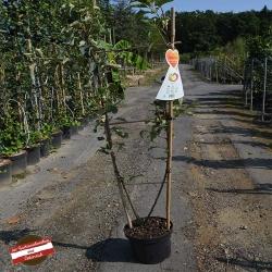 Duo-Apfelbaum: Golden Delicious u. Jonagold 80-100cm, Apfelbaum