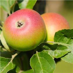 """Apfel """"Kronprinz Rudolf"""" Busch C7,5, APFELBAUM LIEFERN"""