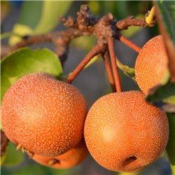 Nashi-Birne Hochstamm C12, Nashi Baum günstig kaufen, Nashi