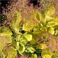 Gelber Perückenstrauch 'Golden Spirit' 60-80cm