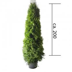 Smaragdthuje 180-200 im 25l Topf, Smaragdthujen 175-200