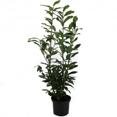 Kirschlorbeer Caucasica 80-100cm im 5l Topf, Laubpflanzen