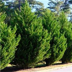 Riesenzypresse 100-125cm am Ballen