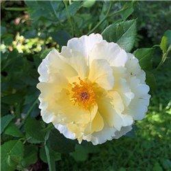 Strauchrose 'Natur im Garten'