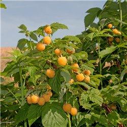 Himbeere gelb 'Fallgold' C3, Himbeere gelb 'Fallgold', Rubus