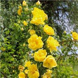 Kletterrose 'Golden Showers' 6,2l Topf