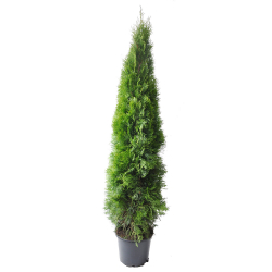 Smaragdthuje 175-200 im 15 Liter Topf