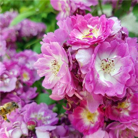 Ramblerrose  'Veilchenblau' 6,2l Topf