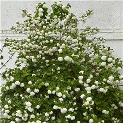 Blütenschneeball 'Roseum' 80/100 am Ballen