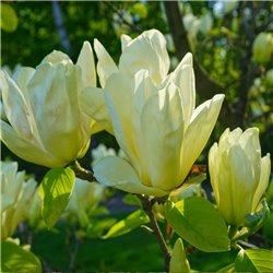 Gelbe Magnolie 'Elizabeth' 100cm+