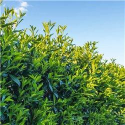 Kirschlorbeer Caucasica 125-150 im 20l Topf