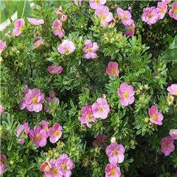 Fingerstrauch rosa 'Bellissima®' 20-30cm
