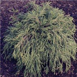 Grüne Fadenzypresse 'Filifera Nana' 20-30cm