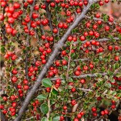 Fruchtende Kriech-Zwergmispel - Cotoneaster dammeri 'Coral Beauty ' Tb9