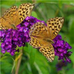 Schmetterlingsstrauch, Sommerflieder 'Royal Red' 60-70cm