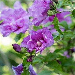 Hibiskus 'Lavender Chiffon®' 60-80cm