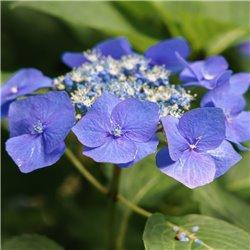 Hortensie 'Teller Blaumeise' blau 7,5l