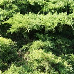 Wacholder 'Mint Julep' 30-35cm
