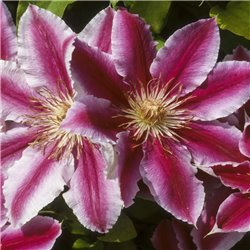 Clematis 'Nelly Moser' rosa 60cm