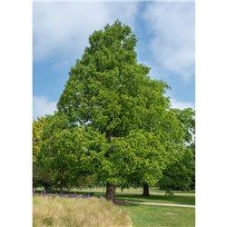 Urweltmammutbaum 150-175 cm am Ballen