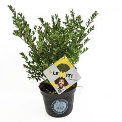 Japan-Stechpalme 'Dark Green®' 40-60cm, immergrüne Pflanze für