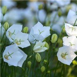 Karpaten-Glockenblume 'Weiße Clips' P 0,5
