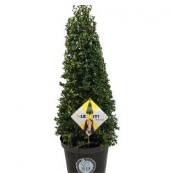 Japan-Stechpalme 'Dark Green' (R )  -  Pyramidenhöhe 70cm
