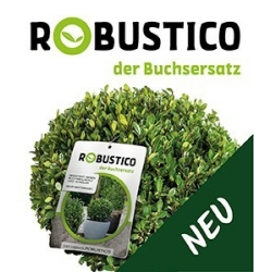 Ilex crenata Robustico® 30-40 - die Buxalternative
