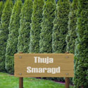 Thuja Smaragd