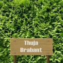 Brabantthujen