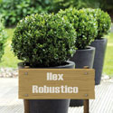 Ilex Robustico