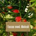 Eibe Taxus med. Hicksii